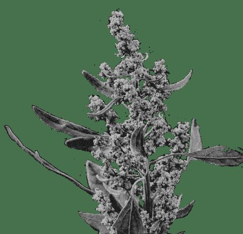 Plants de quinoa.
