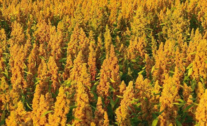 Champ de quinoa