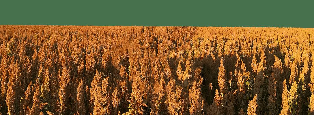 Field of grain plants